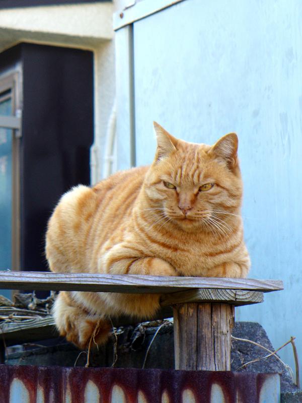 塀の上でしかめっ面の茶トラ猫2