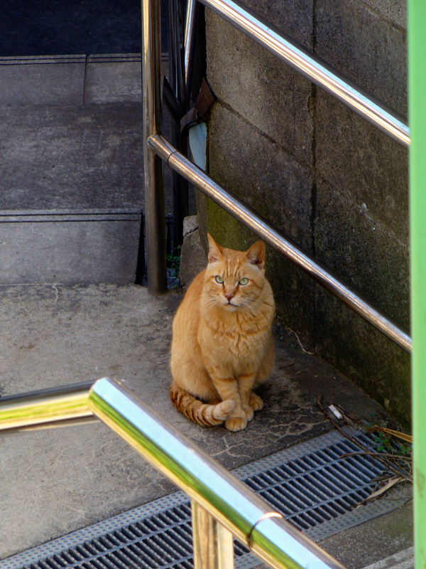 階段の途中で見上げてる茶トラ猫2