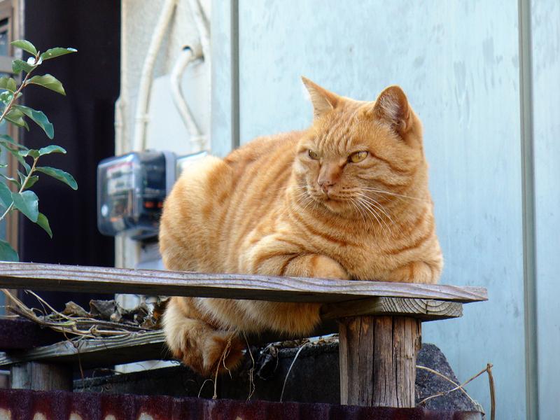 塀の上でしかめっ面の茶トラ猫3