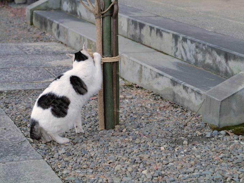 縄紐を掴んでる白キジ猫1