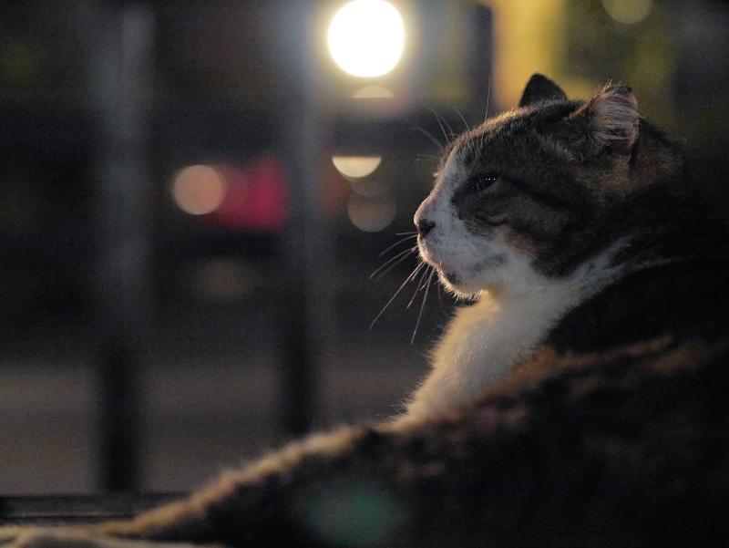 夜にベロを出すキジ白猫1
