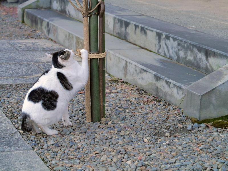 縄紐を掴んでる白キジ猫2