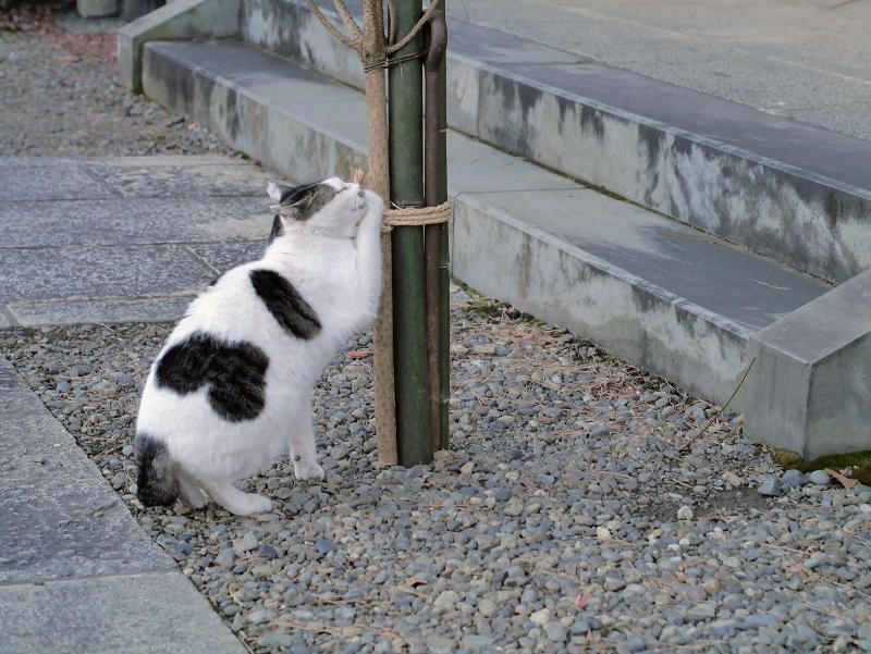 縄紐を掴んでる白キジ猫3