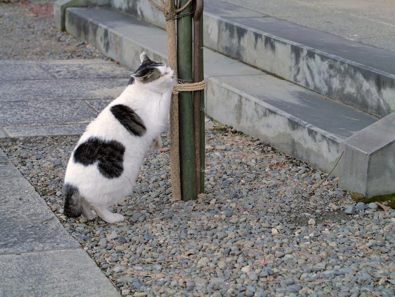 縄紐を掴んでる白キジ猫4