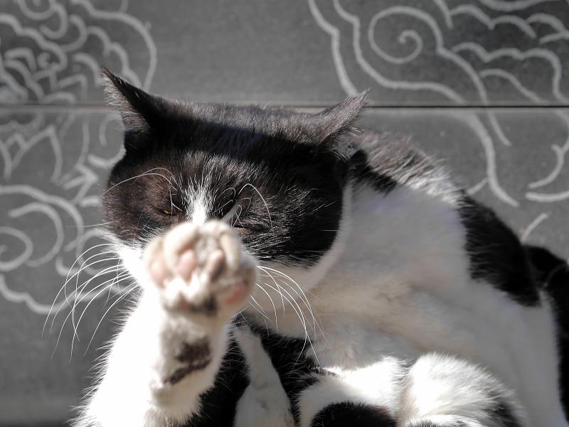 足を突き出して毛繕いの黒白猫1