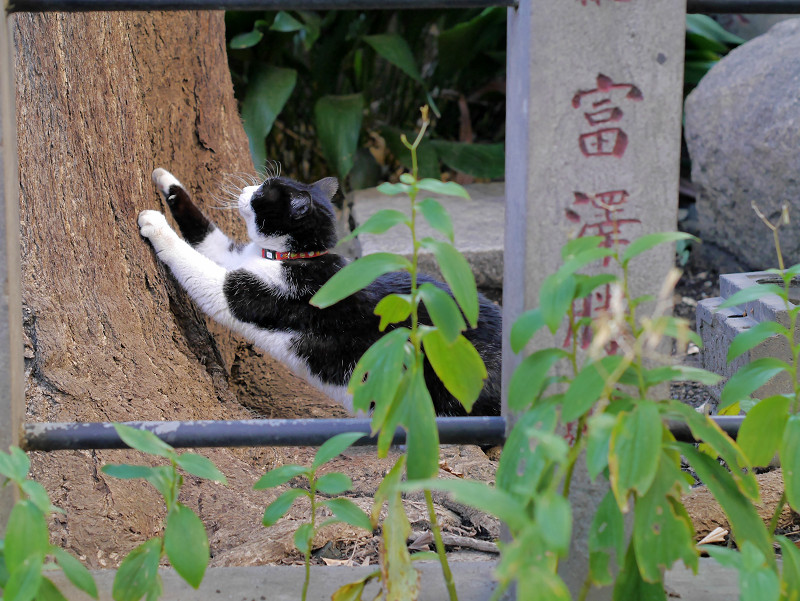 銀杏の木で爪を研ぐ黒白猫1
