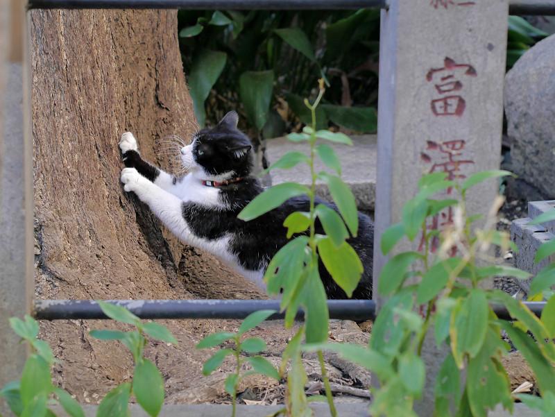 銀杏の木で爪を研ぐ黒白猫2