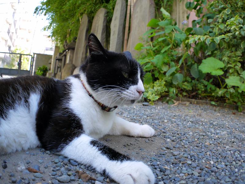 境内で腹ばってる黒白猫2