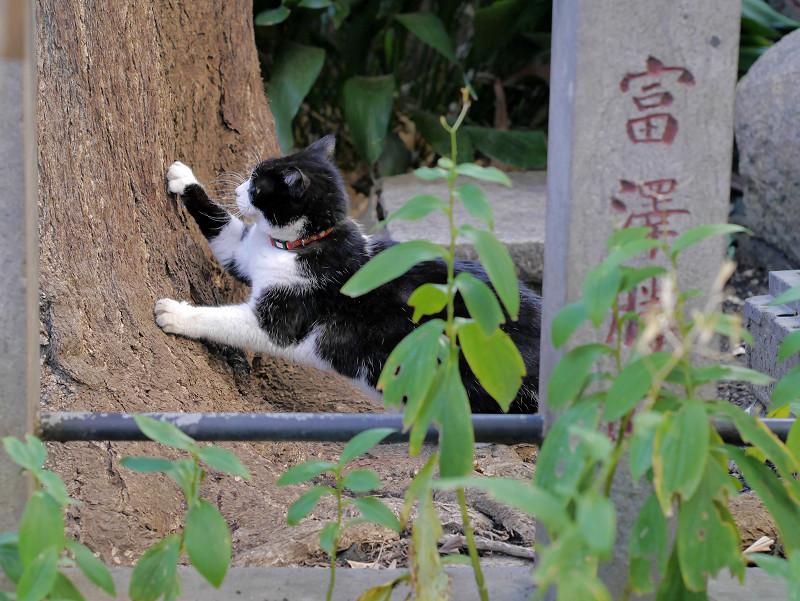 銀杏の木で爪を研ぐ黒白猫3