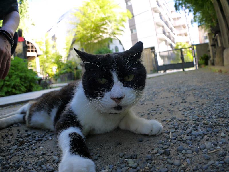 境内で腹ばってる黒白猫3