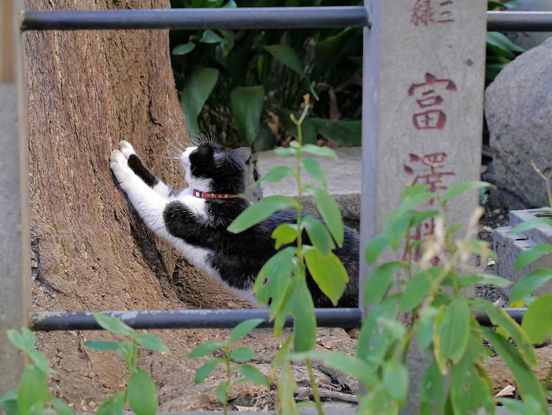 銀杏の木で爪を研ぐ黒白猫4