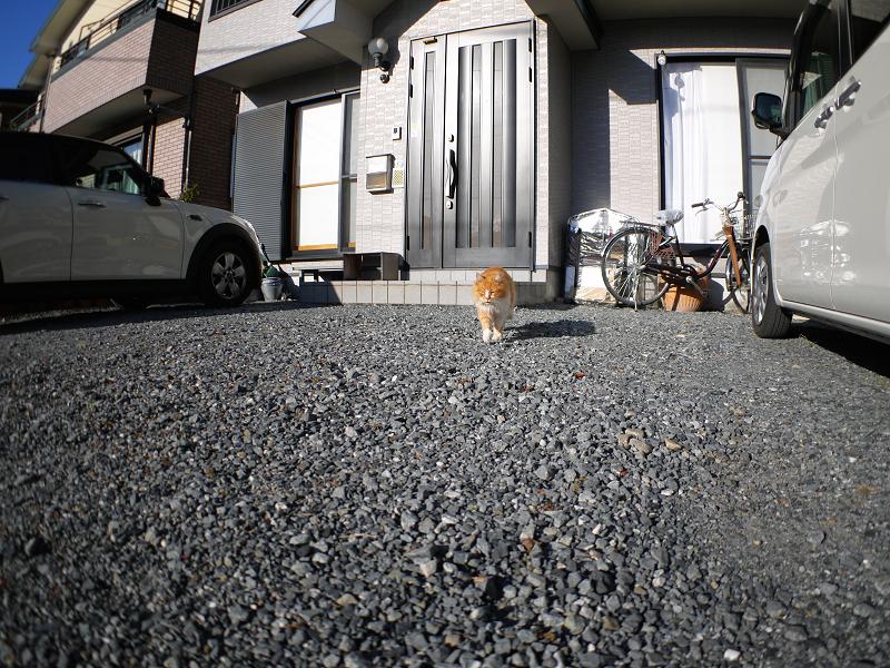 民家前から歩み寄る毛長の茶白猫1