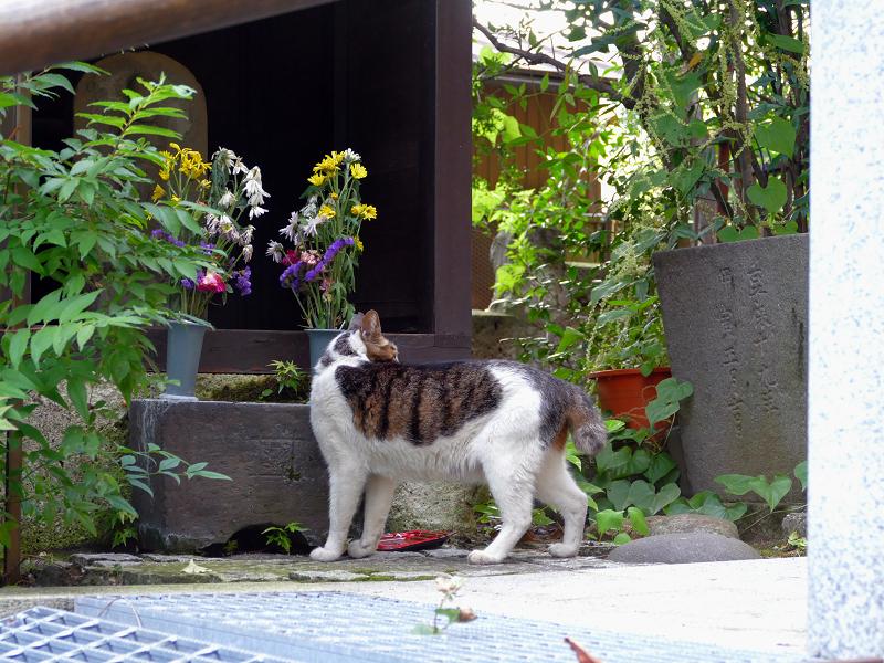 水飲後に立ち去っていくキジ白猫1