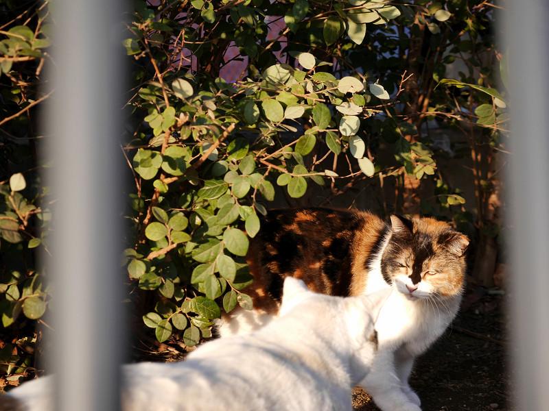 白系猫と三毛猫1
