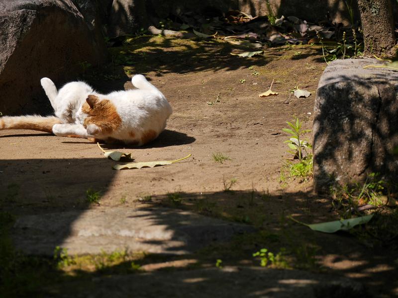 日向で転がり続ける茶白猫1