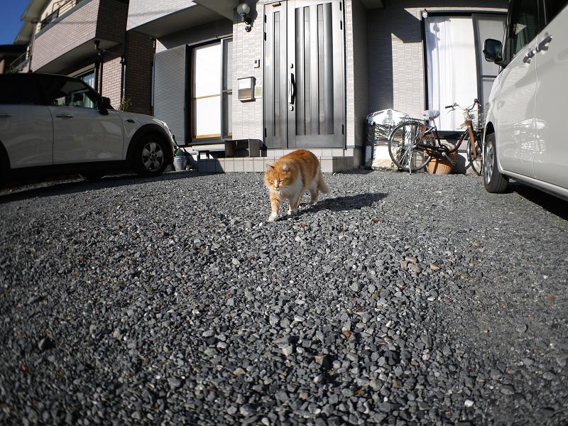 民家前から歩み寄る毛長の茶白猫2