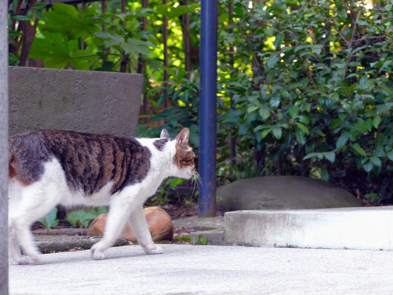 水飲後に立ち去っていくキジ白猫2