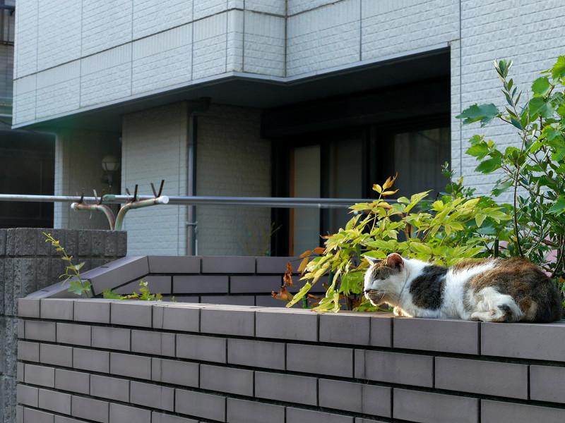 民家の塀に腹ばってる白キジ猫2