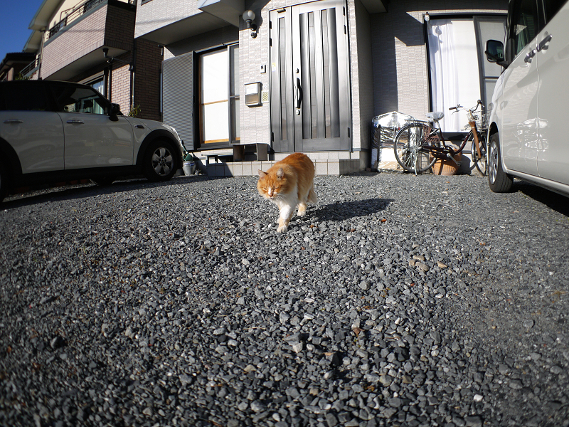 民家前から歩み寄る毛長の茶白猫3