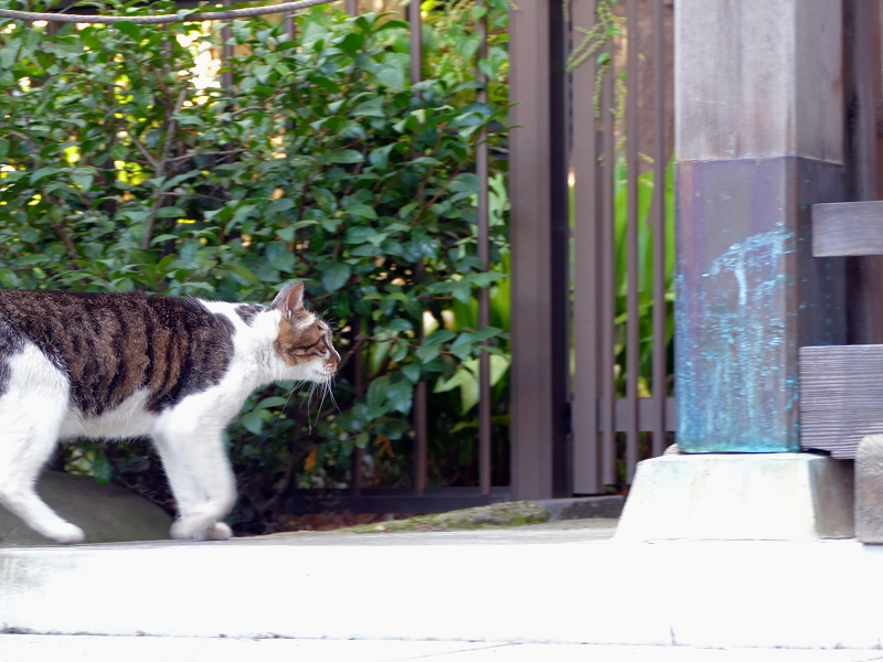 水飲後に立ち去っていくキジ白猫3