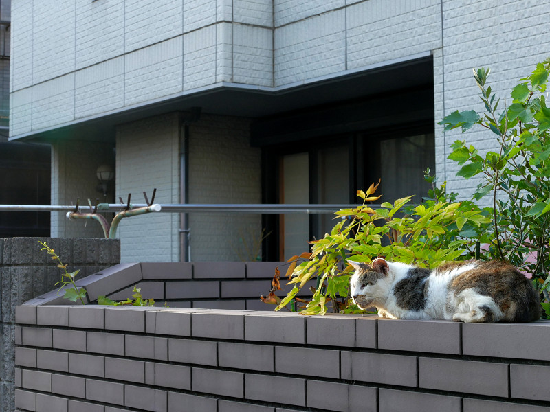 民家の塀に腹ばってる白キジ猫3