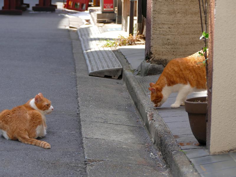 飲み屋街路地の茶白猫2匹1
