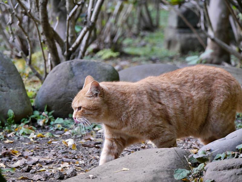 横をを歩いてる茶トラ猫1