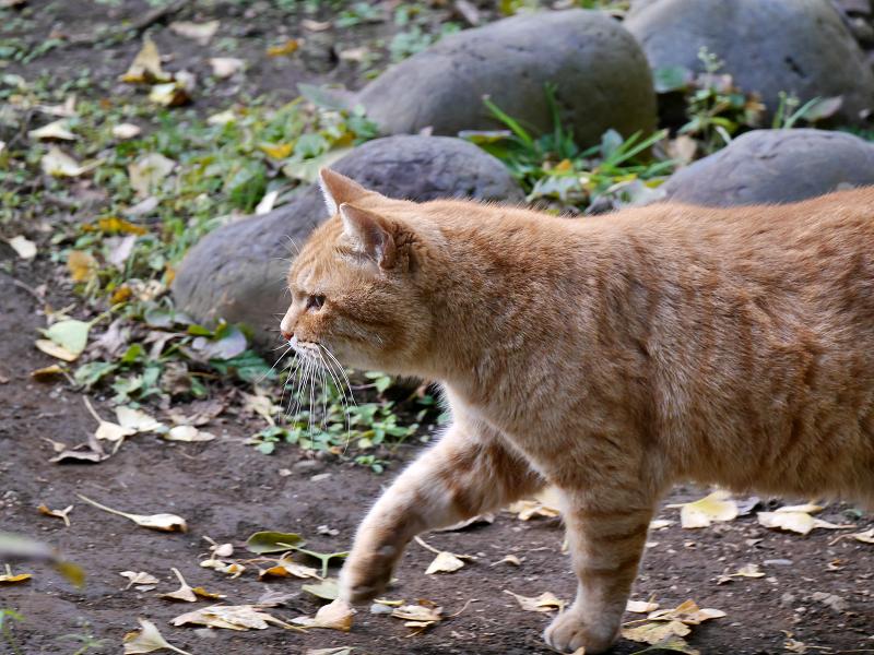 横をを歩いてる茶トラ猫3