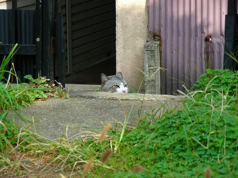顔だけ出して見てるグレー白猫1