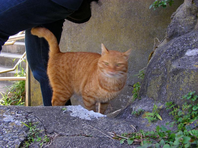 階段の途中で現れた茶トラ猫1