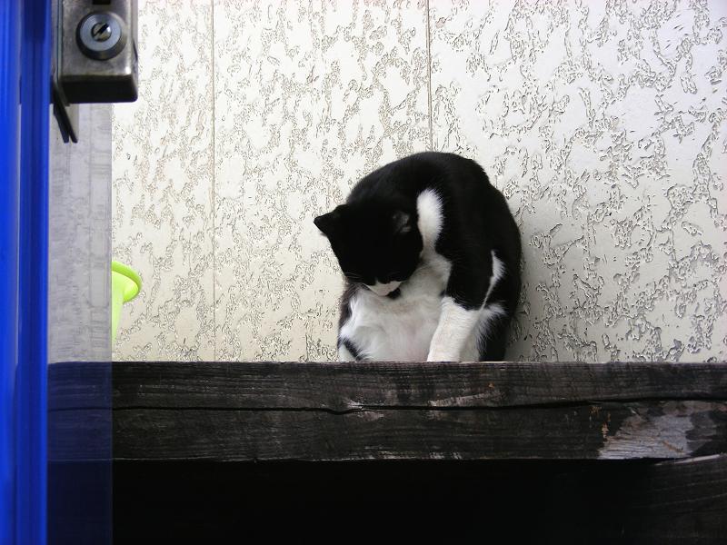 丸くなって毛繕いする黒白猫1