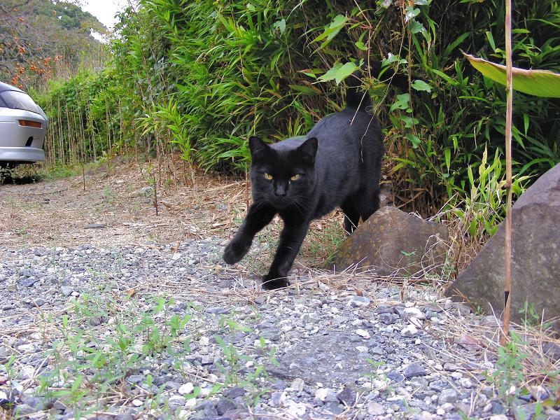 飛び出して来た黒猫1
