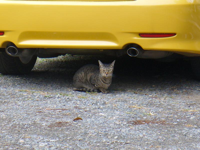 黄色い車とキジトラ猫1