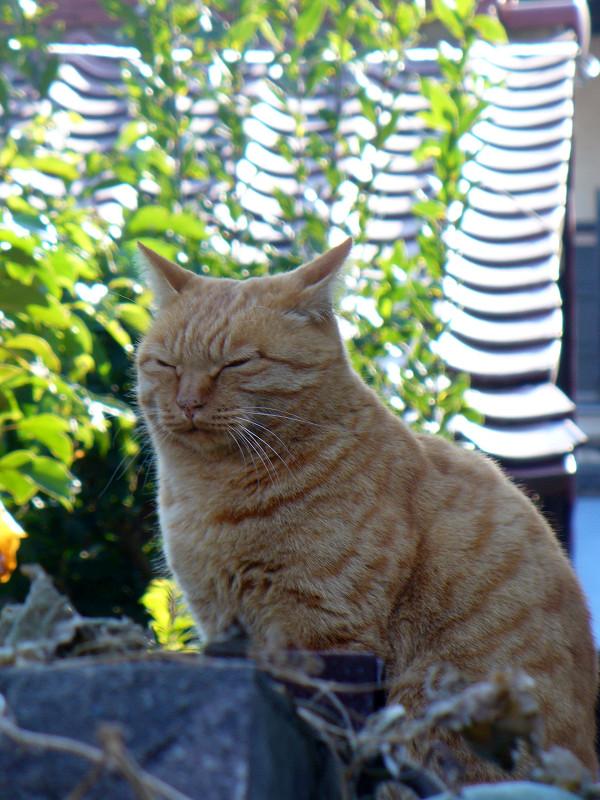 移動した茶トラ猫1