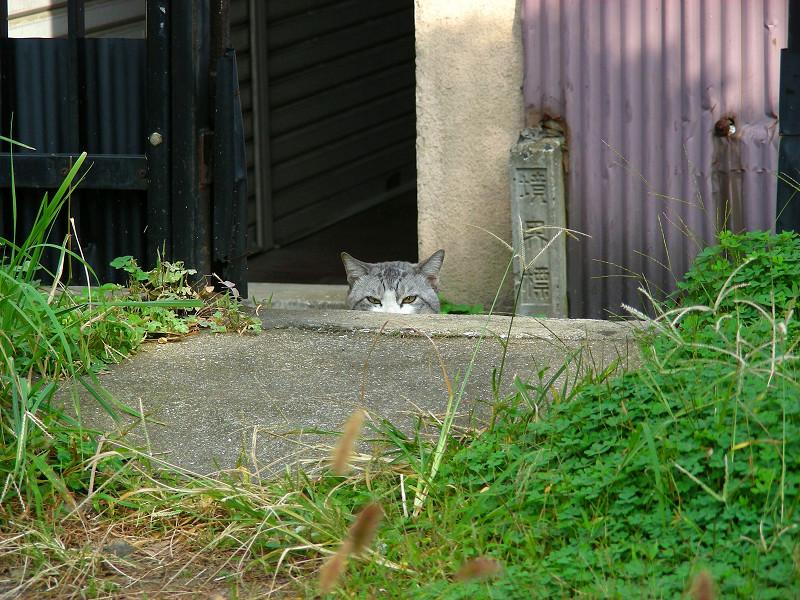 顔だけ出して見てるグレー白猫2