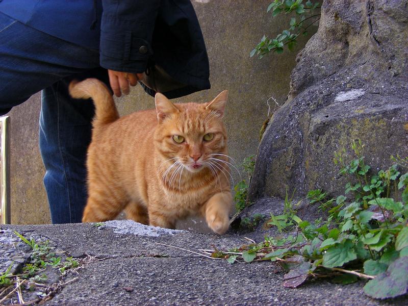 階段の途中で現れた茶トラ猫2