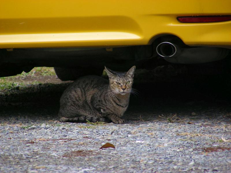 黄色い車とキジトラ猫2