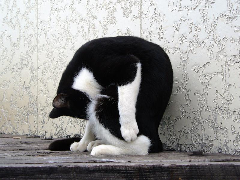 丸くなって毛繕いする黒白猫2