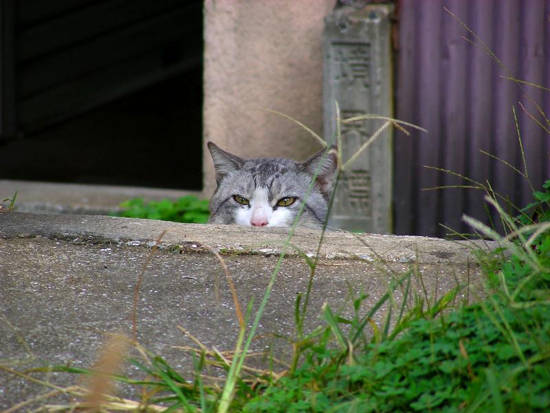 顔だけ出して見てるグレー白猫3
