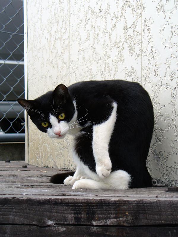 丸くなって毛繕いする黒白猫3