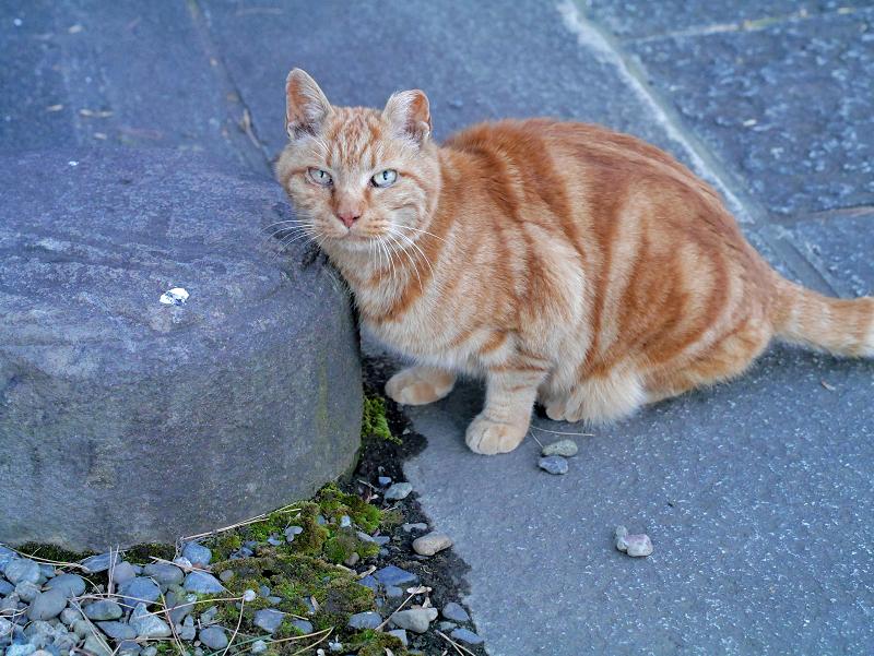 岩の横のアメショー風猫1