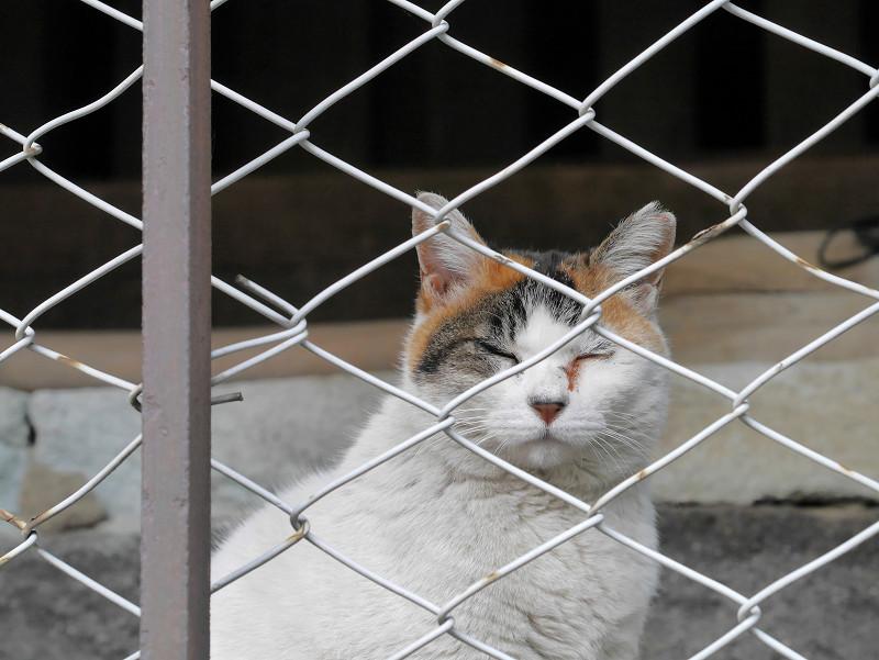 金網越しの白三毛猫1