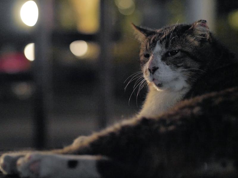 夕暮れ境内のキジ白猫