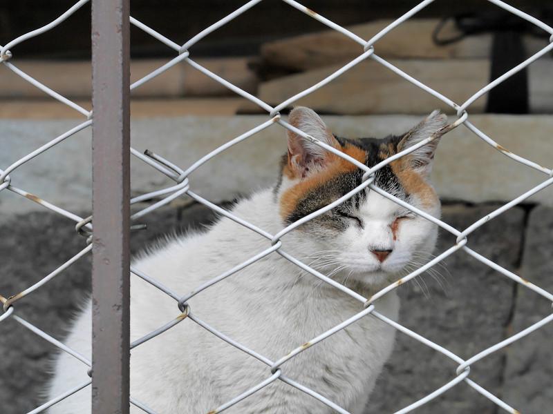 金網越しの白三毛猫2