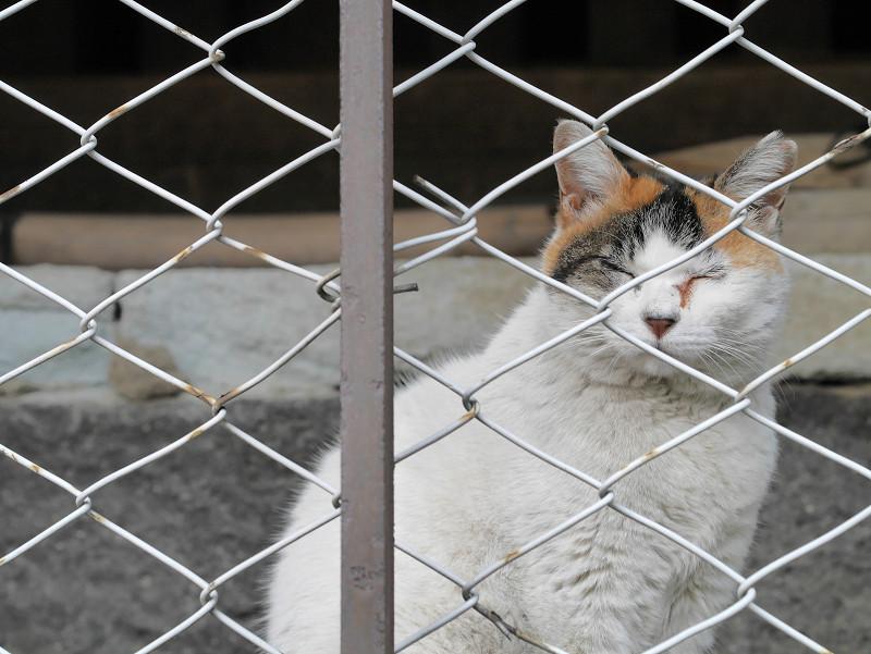 金網越しの白三毛猫3