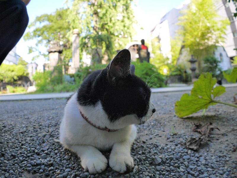 境内で腹ばってる白黒猫1