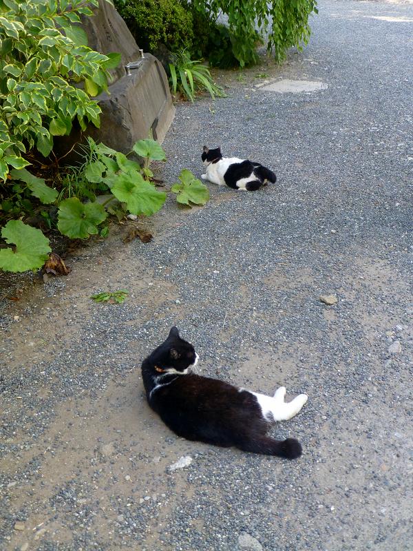 境内で腹ばってる白黒猫2