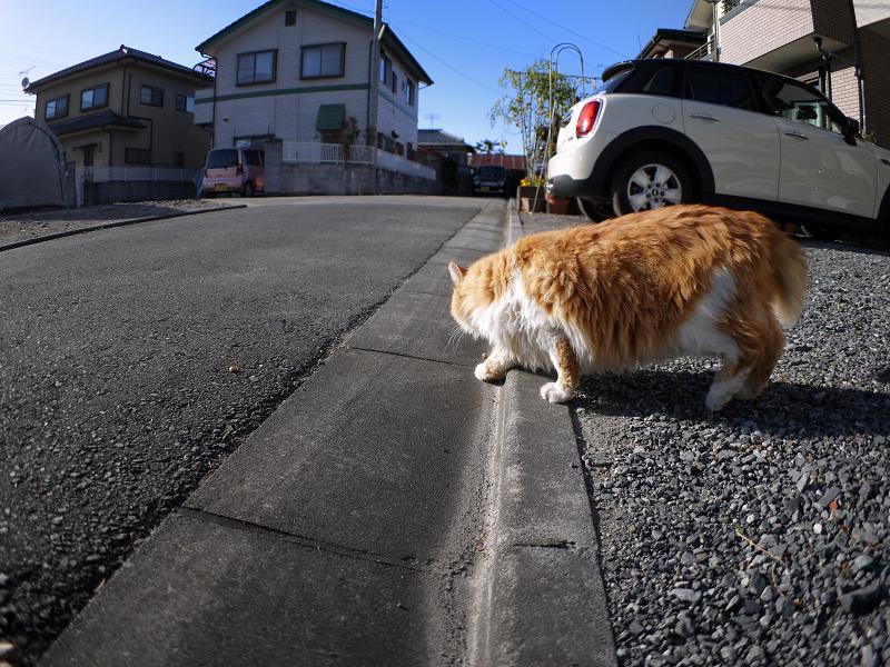 縁石で転がった毛長の茶トラ猫1