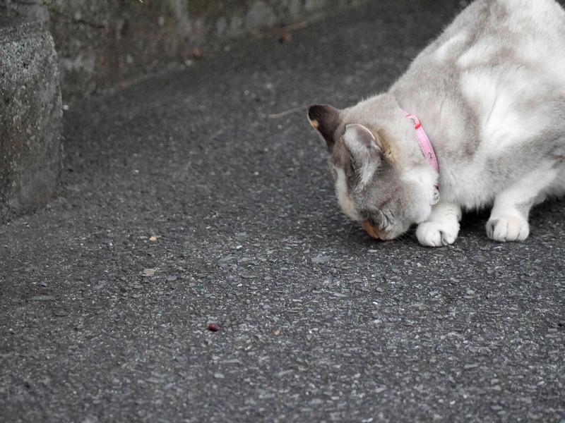 地面の匂いを嗅ぐ猫1