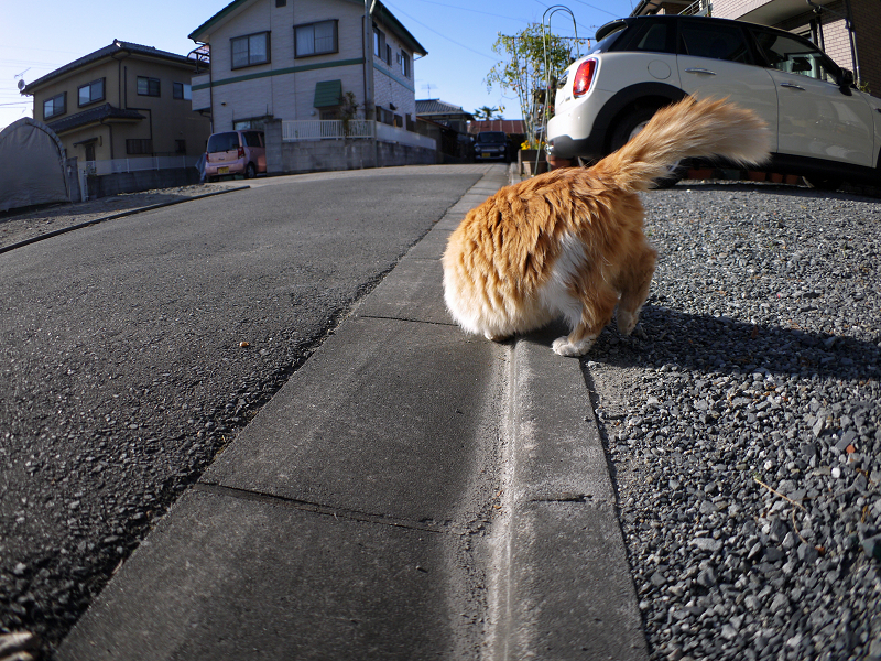 縁石で転がった毛長の茶トラ猫2